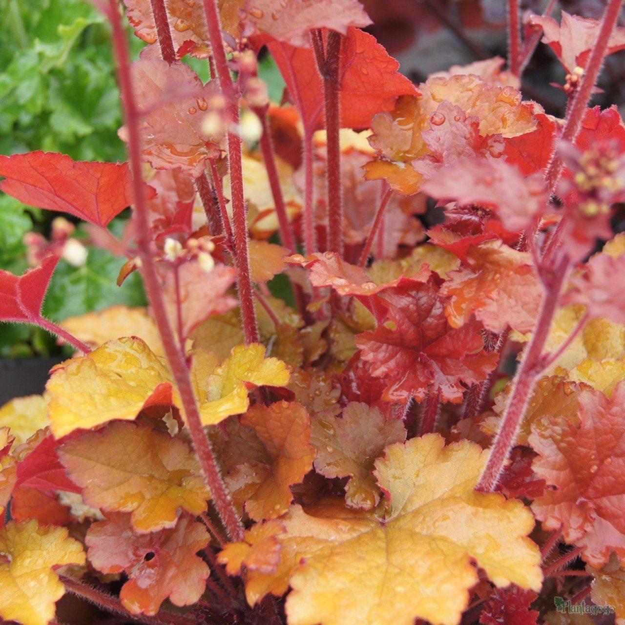 heuchera-foglie-arancio