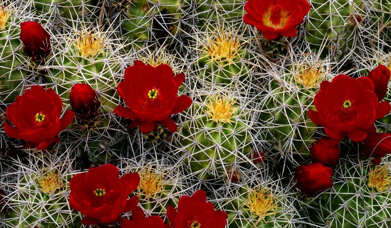 Fioritura di cactus, fiori rossi