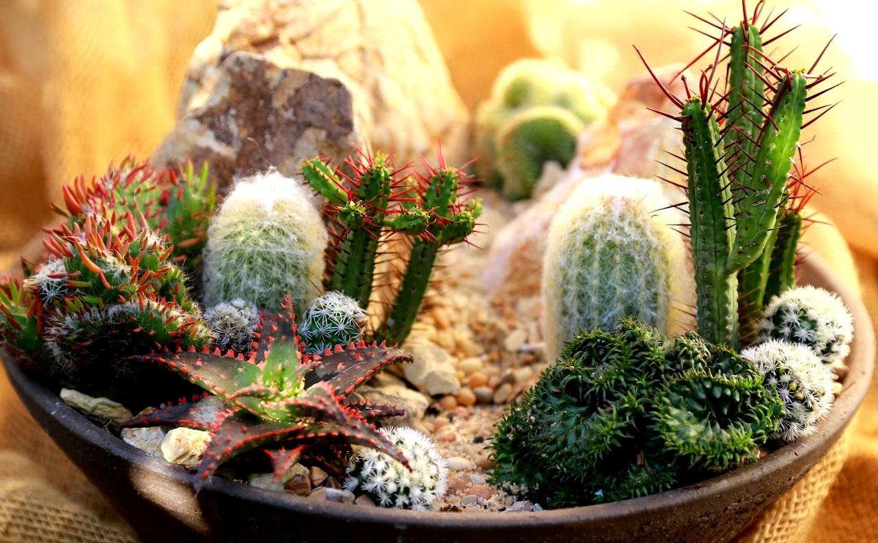 Composizione in vaso di mini cactus
