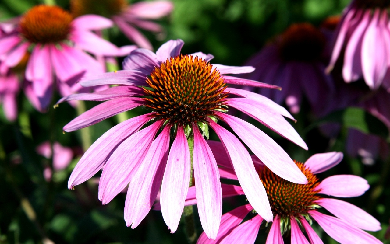 Fiori di Echinacea Purpurea