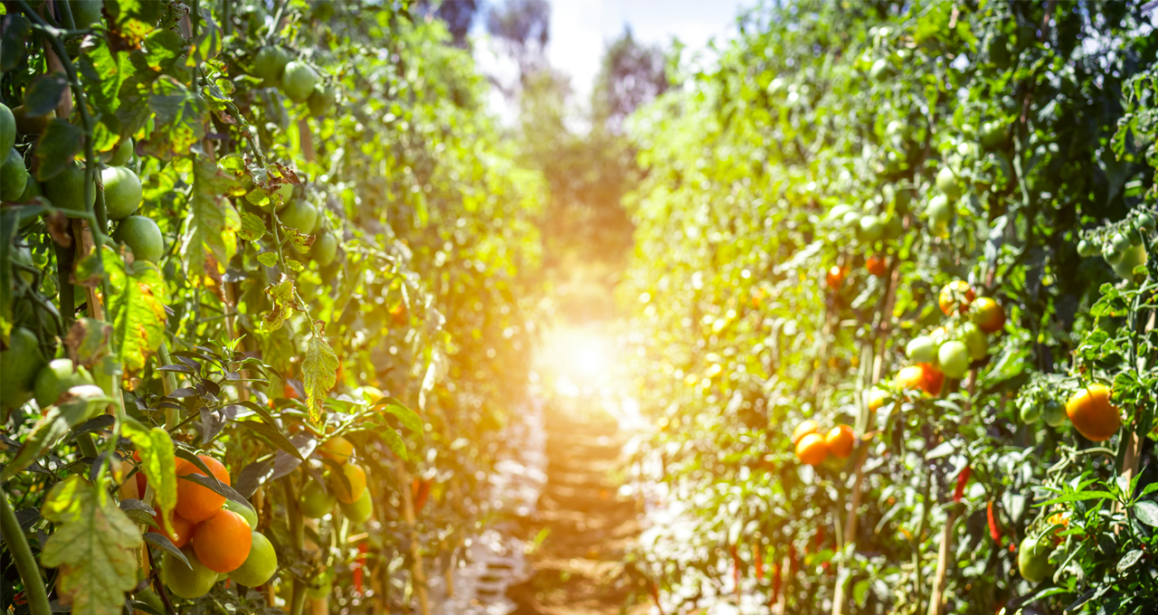 Piantagione di pomodori